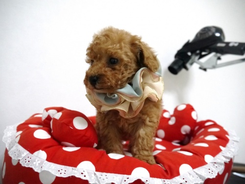トイプードルの子犬(ID:1266111015)の4枚目の写真/更新日:2018-01-08