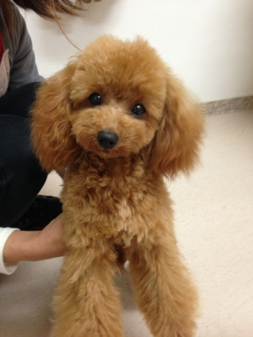 トイプードルの子犬(ID:1266111015)の5枚目の写真/更新日:2018-01-08