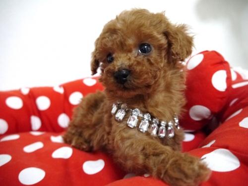 トイプードルの子犬(ID:1266111016)の1枚目の写真/更新日:2018-01-08
