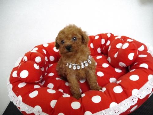 トイプードルの子犬(ID:1266111016)の2枚目の写真/更新日:2018-01-08