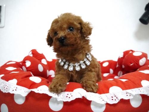 トイプードルの子犬(ID:1266111016)の3枚目の写真/更新日:2018-01-08