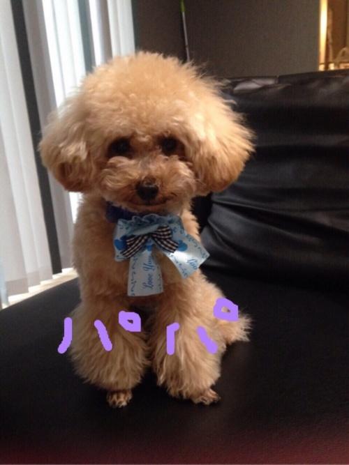 トイプードルの子犬(ID:1266111016)の6枚目の写真/更新日:2018-01-08