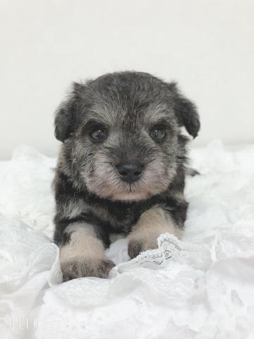 ミニチュアシュナウザーの子犬(ID:1266111018)の1枚目の写真/更新日:2018-04-13