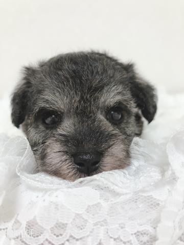 ミニチュアシュナウザーの子犬(ID:1266111018)の2枚目の写真/更新日:2018-04-13