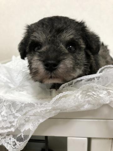 ミニチュアシュナウザーの子犬(ID:1266111018)の4枚目の写真/更新日:2018-04-13
