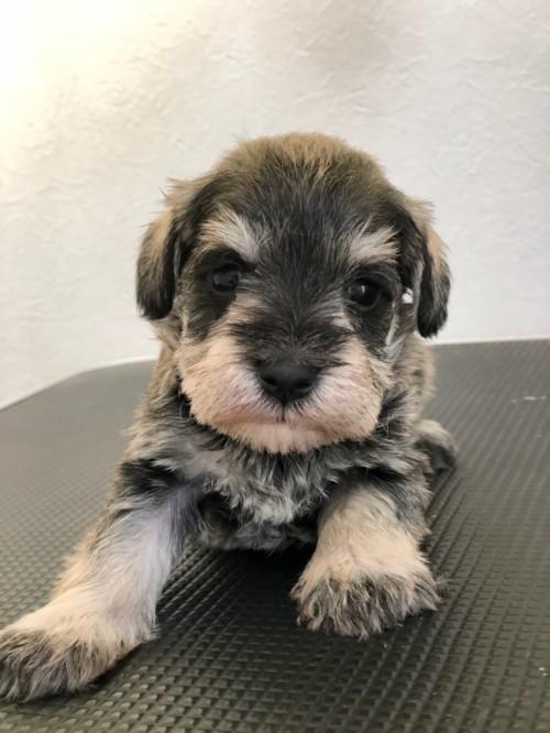 ミニチュアシュナウザーの子犬(ID:1266111022)の1枚目の写真/更新日:2018-04-13