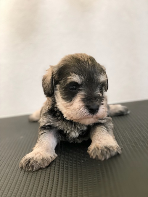 ミニチュアシュナウザーの子犬(ID:1266111022)の2枚目の写真/更新日:2018-04-13