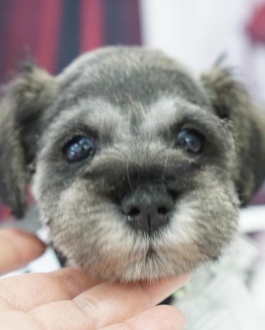 ミニチュアシュナウザーの子犬(ID:1266111023)の1枚目の写真/更新日:2018-04-13