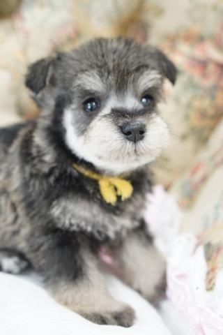 ミニチュアシュナウザーの子犬(ID:1266111024)の4枚目の写真/更新日:2018-04-13