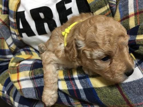 トイプードルの子犬(ID:1266311003)の1枚目の写真/更新日:2017-04-14