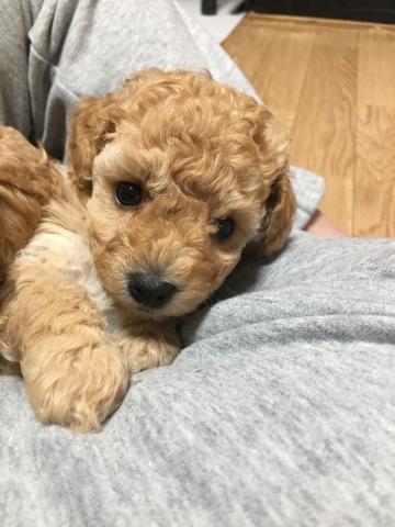 トイプードルの子犬(ID:1266311004)の1枚目の写真/更新日:2017-04-24