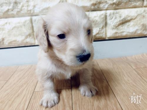 ミニチュアダックスフンド(ロング)の子犬(ID:1266311010)の1枚目の写真/更新日:2019-01-16