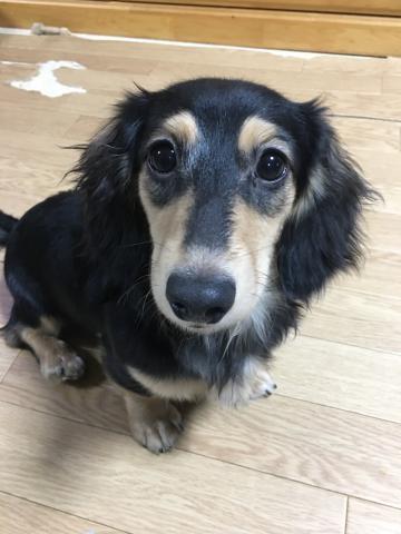 ミニチュアダックスフンド(ロング)の子犬(ID:1266311010)の2枚目の写真/更新日:2019-01-07