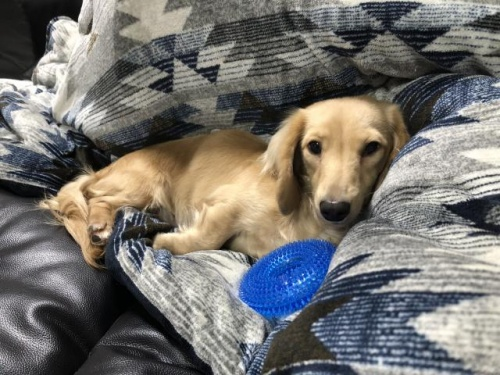 ミニチュアダックスフンド(ロング)の子犬(ID:1266311010)の3枚目の写真/更新日:2019-01-07