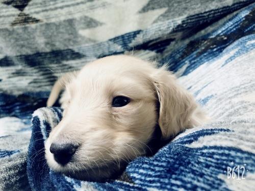 ミニチュアダックスフンド(ロング)の子犬(ID:1266311010)の4枚目の写真/更新日:2019-02-03