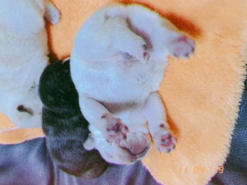 フレンチブルドッグの子犬(ID:1266311011)の5枚目の写真/更新日:2019-11-12