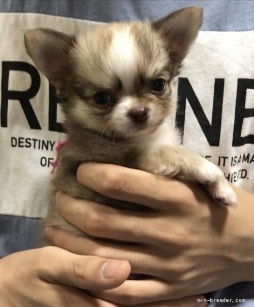 チワワ(ロング)の子犬(ID:1266411005)の1枚目の写真/更新日:2018-07-05