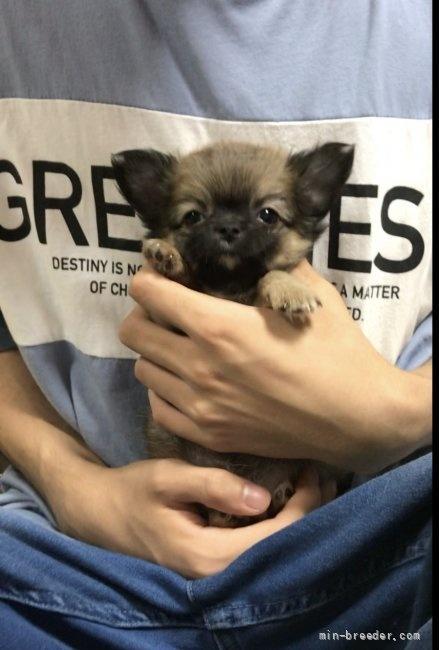 チワワ(ロング)の子犬(ID:1266411009)の1枚目の写真/更新日:2018-07-05