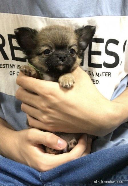 チワワ(ロング)の子犬(ID:1266411009)の2枚目の写真/更新日:2018-07-05