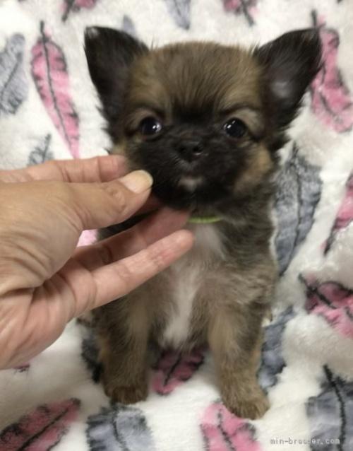 チワワ(ロング)の子犬(ID:1266411009)の4枚目の写真/更新日:2018-07-05