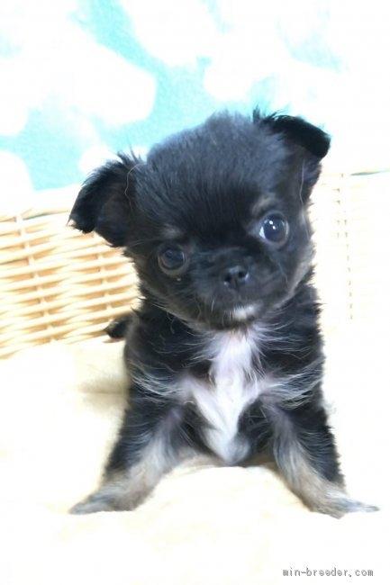 チワワ(ロング)の子犬(ID:1266411011)の1枚目の写真/更新日:2017-03-18