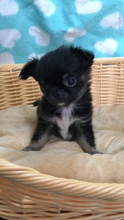 チワワ(ロング)の子犬(ID:1266411011)の2枚目の写真/更新日:2017-03-18