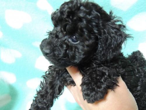 トイプードルの子犬(ID:1266411012)の1枚目の写真/更新日:2017-04-12