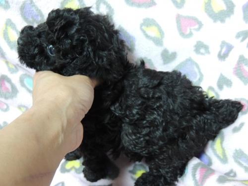 トイプードルの子犬(ID:1266411012)の3枚目の写真/更新日:2017-04-12