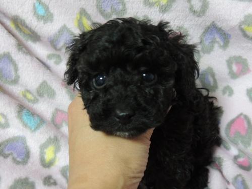 トイプードルの子犬(ID:1266411012)の4枚目の写真/更新日:2017-04-12