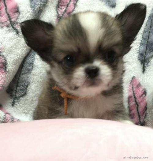 チワワ(ロング)の子犬(ID:1266411014)の1枚目の写真/更新日:2017-06-18