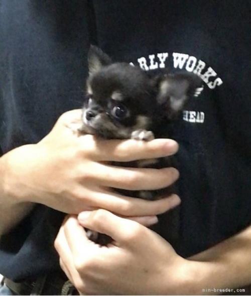 チワワ(ロング)の子犬(ID:1266411015)の2枚目の写真/更新日:2018-07-23