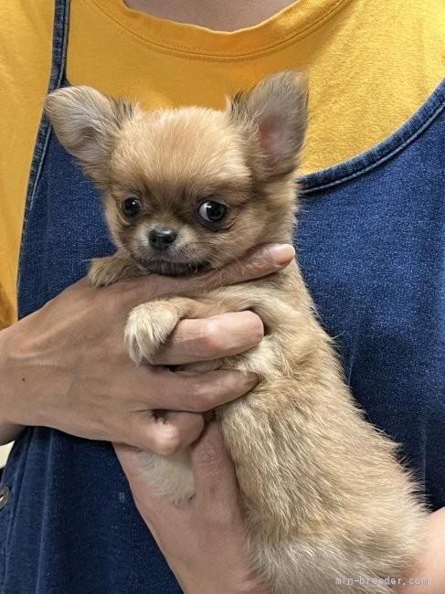 チワワ(ロング)の子犬(ID:1266411021)の1枚目の写真/更新日:2018-02-03
