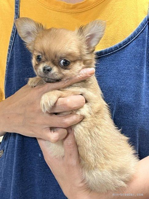 チワワ(ロング)の子犬(ID:1266411021)の2枚目の写真/更新日:2018-01-03