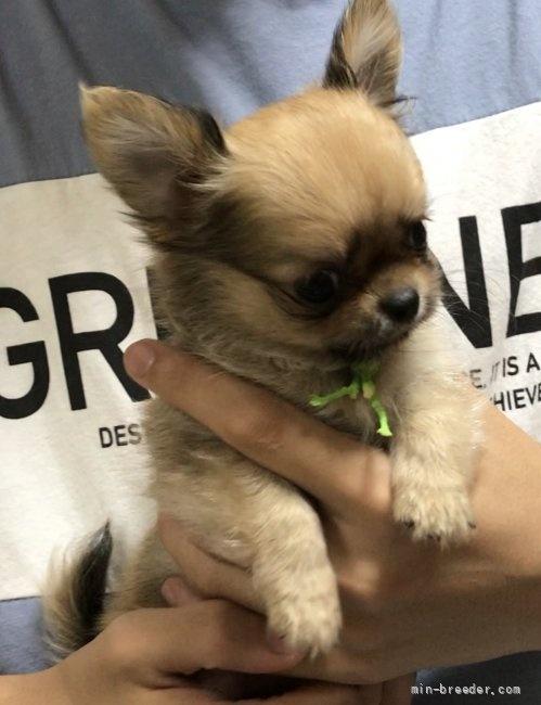 チワワ(ロング)の子犬(ID:1266411024)の2枚目の写真/更新日:2018-01-03
