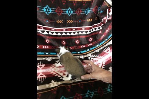 チワワ(ロング)の子犬(ID:1266411026)の3枚目の写真/更新日:2018-01-03