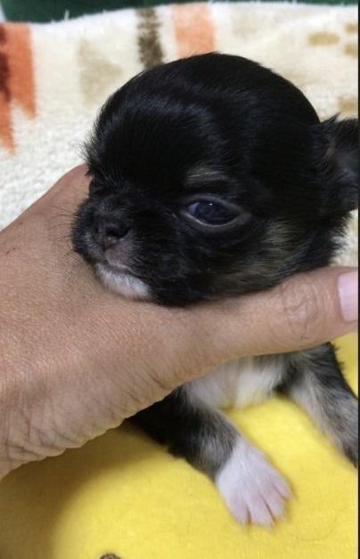 チワワ(ロング)の子犬(ID:1266411028)の1枚目の写真/更新日:2018-02-03