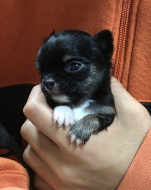 チワワ(ロング)の子犬(ID:1266411028)の3枚目の写真/更新日:2018-02-08
