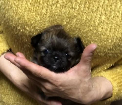 チワワ(ロング)の子犬(ID:1266411029)の1枚目の写真/更新日:2018-02-03
