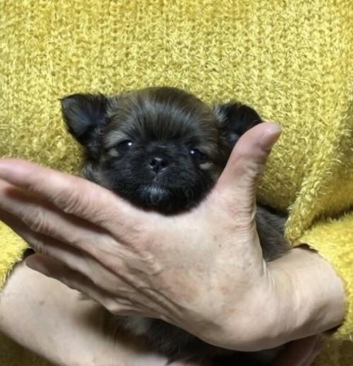 チワワ(ロング)の子犬(ID:1266411029)の2枚目の写真/更新日:2018-02-08