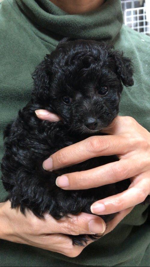 トイプードルの子犬(ID:1266411032)の5枚目の写真/更新日:2018-03-06