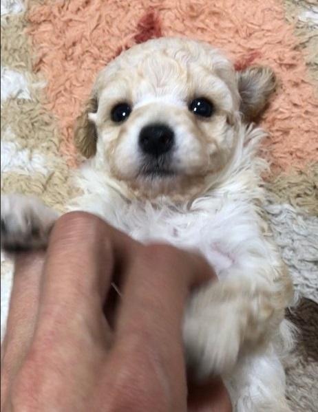 トイプードルの子犬(ID:1266411033)の2枚目の写真/更新日:2018-05-12