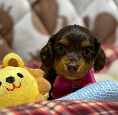 ミニチュアダックスフンド(ロング)の子犬(ID:1266811008)の1枚目の写真/更新日:2020-04-08