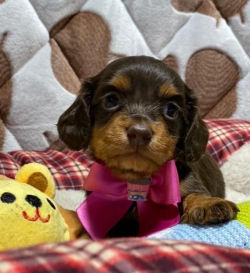 ミニチュアダックスフンド(ロング)の子犬(ID:1266811008)の2枚目の写真/更新日:2020-04-08