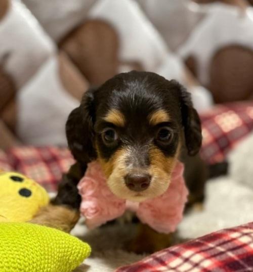 ミニチュアダックスフンド(ロング)の子犬(ID:1266811009)の1枚目の写真/更新日:2020-04-08