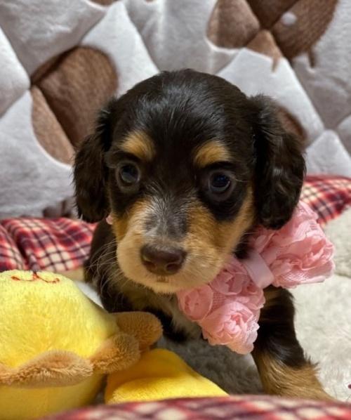 ミニチュアダックスフンド(ロング)の子犬(ID:1266811009)の2枚目の写真/更新日:2020-04-08