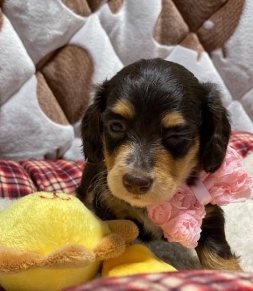 ミニチュアダックスフンド(ロング)の子犬(ID:1266811009)の3枚目の写真/更新日:2020-04-08