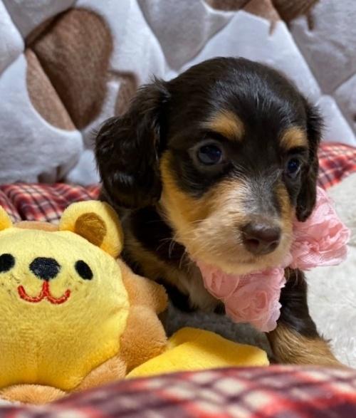 ミニチュアダックスフンド(ロング)の子犬(ID:1266811009)の4枚目の写真/更新日:2020-04-08