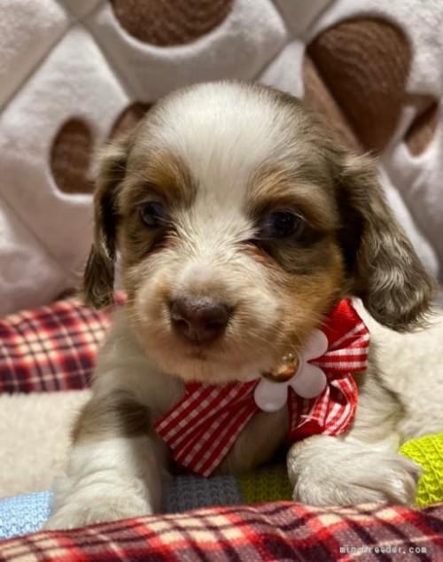 ミニチュアダックスフンド(ロング)の子犬(ID:1266811010)の1枚目の写真/更新日:2020-04-09