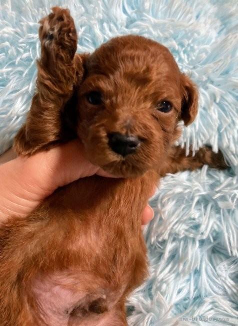 トイプードルの子犬(ID:1266811021)の2枚目の写真/更新日:2020-10-20