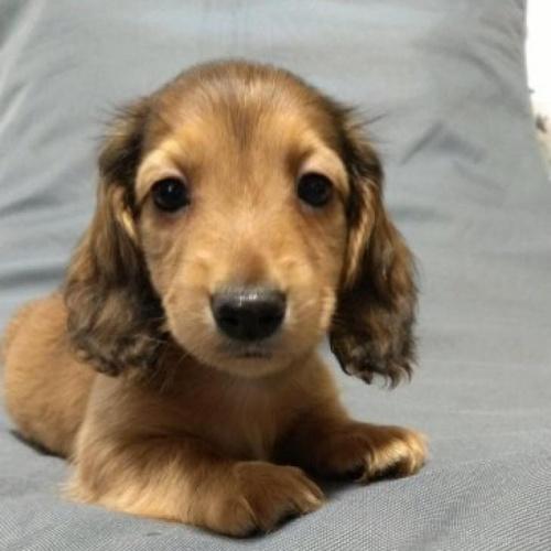 カニンヘンダックスフンド(ロング)の子犬(ID:1266811035)の1枚目の写真/更新日:2021-05-10